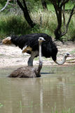 Ostrich have a Bath Stock Images
