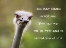 Ostrich having a bad hair day. Comincal ostrich looking at the camera. Motivational quotation saying 'You cant control everything. Your hair was put on your Royalty Free Stock Photo