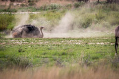 Ostrich having a dust bath in Kgalagadi. Ostrich having a dust bath in the Kgalagadi Transfrontier Park, South Africa Royalty Free Stock Photography