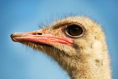 Ostrich head Stock Photo
