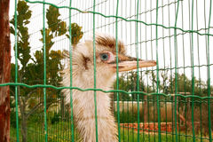 Ostrich head. Behind green net Stock Images