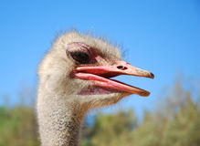 Ostrich head. Portrait view of wild ostrich Stock Photography