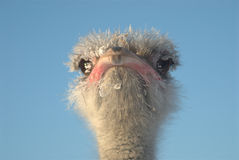 Ostrich head. Ostrich in winter with frozen feathers Stock Photo