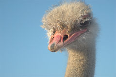 Ostrich head. Ostrich in winter with frozen feathers Royalty Free Stock Images