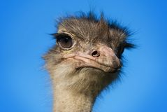 Ostrich head 2. Ostrich head on blue sky background, close-up Royalty Free Stock Images