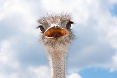 Ostrich head. Ostrich head on a clouds background Royalty Free Stock Photography