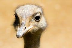 Ostrich. Head Stock Photos