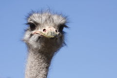 Ostrich head Stock Image