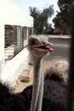 Ostrich head afrikanskogos black beak Royalty Free Stock Photography