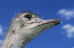 Ostrich head against blue sky low angle view Royalty Free Stock Image