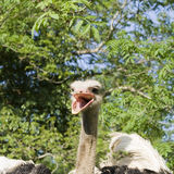 Ostrich head with beak open Royalty Free Stock Photography