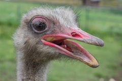Ostrich head with beak open 2 Stock Photography