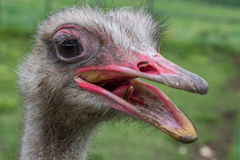 Ostrich head with beak open Royalty Free Stock Photo