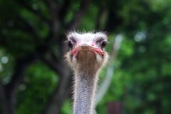 Ostrich head Royalty Free Stock Photos