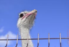 Ostrich looks stock image