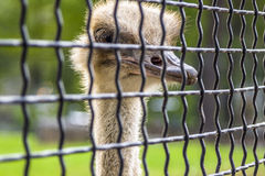 Ostrich head behind the net Stock Photography