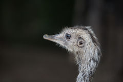 Ostrich head. Black and white royalty free stock photo