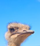 Ostrich head on blue sky background Royalty Free Stock Photos