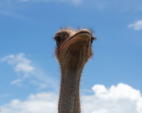 Ostrich head and blue sky Royalty Free Stock Photo