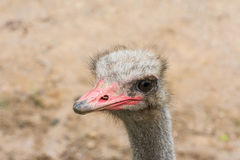 Ostrich head Royalty Free Stock Image
