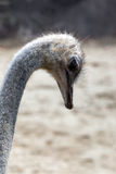 Ostrich head close-up Royalty Free Stock Images