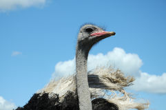 Ostrich. Head close up on blue sky with white clouds as back ground Stock Photo