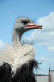 Ostrich. Head close up on blue sky with white clouds as back ground Stock Photography