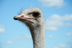 Ostrich. Head close up on blue sky with white clouds as back ground Stock Image
