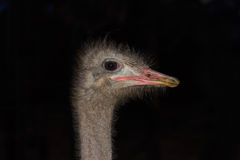 Ostrich head close-up on a dark background Royalty Free Stock Photos