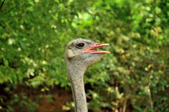 Ostrich. Head close up details Stock Photography
