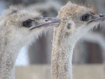 Ostrich head close-up. Eyes and beak. Zoo stock image