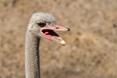 Ostrich head close-up Stock Image