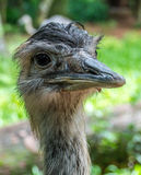 Ostrich head close-up image Royalty Free Stock Images