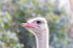 Ostrich head close-up Royalty Free Stock Photo