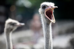 Ostrich head close up Stock Photography