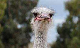 Ostrich head close-up at ostrich farm. Israel stock image