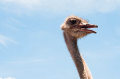 Ostrich head close up at the ostrich farm. Ostrich or type is on Stock Image