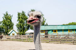 Ostrich head close up at the ostrich farm. Ostrich or type is on Royalty Free Stock Image