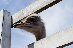Ostrich head close up at the ostrich farm. Ostrich or type is on Royalty Free Stock Photos