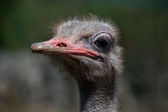 Ostrich head close up stock images