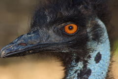 Ostrich. Head close-up photography Royalty Free Stock Image