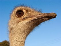 Ostrich head. A close up of an ostrich's head Royalty Free Stock Images