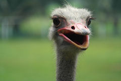 Ostrich Head Close Up View, Farm Animal Royalty Free Stock Photos