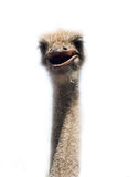 Ostrich head close up on white royalty free stock images