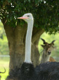 Ostrich head closeup Royalty Free Stock Photos