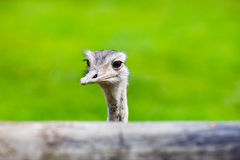 Ostrich head closeup. Animal zoo, outdoors Stock Images