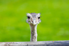 Ostrich head closeup. Animal zoo, outdoors Royalty Free Stock Photography