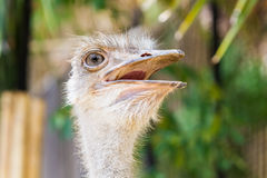 Ostrich head closeup. Royalty Free Stock Image
