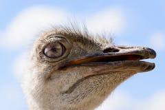 Ostrich head closeup Stock Images