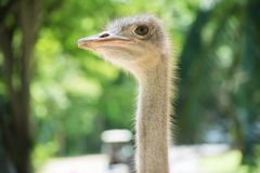 Ostrich head closeup Stock Image